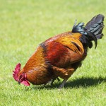 brown-cock-on-green-grass