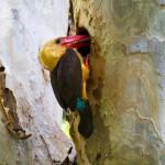 brown-winged-kingfisher (1)