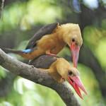 brown-winged-kingfisher