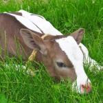 calf-in-spring-lying-on-green-grass
