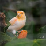 canary-bird-on-tree (1)