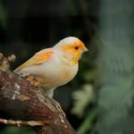 canary-bird-on-tree