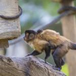 capuchin-monkey-cebus-capucinus