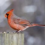 cardinal-cardinalis-cardinalis (1)