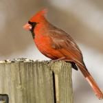 cardinal-cardinalis-cardinalis