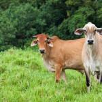 cattle-in-queensland-australia