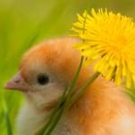 chicken (10)