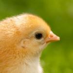 chicken (12)