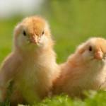 chicken (5)