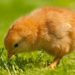 chicken (7)