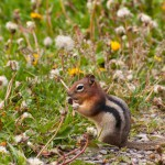 chipmunk-feeding