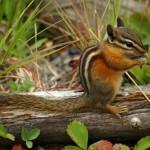 chipmunk-in-natural-environment