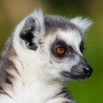 close-up-of-a-ring-tailed-lemur