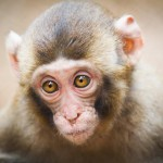 closeup-of-a-baby-japanese-macaque