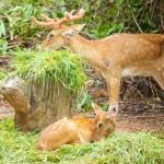 couple-of-fallow-deer