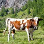 cows-and-italian-alps (2)