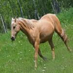 cream-colored-horse-in-field