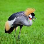 crowned-crane (1)
