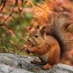 cute-red-squirrel-in-autumn
