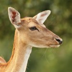 deer-hind-over-green-background