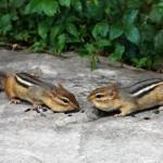 eastern-chipmunk-tamias-striatus