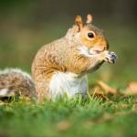 eastern-grey-squirrel-sciurus-carolinensis-eating-a-nut
