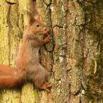 european-squirrel-on-a-tree-trunk-sciurus