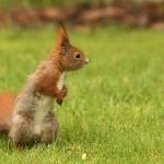 european-squirrel-sitting-on-the-grass-sciurus