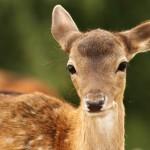 fallow-deer-calf-looking-at-camera