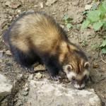 ferret-in-stony-back
