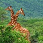 fight-of-two-giraffes