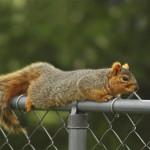 fox-squirrel (1)