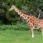 giraffe (1)