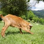 goat-playing-in-asturias