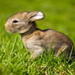 gray-bunny-in-green-grass (1)