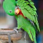 green-eclectus-parrot (1)