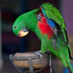 green-eclectus-parrot