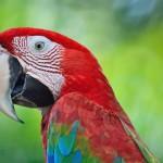 greenwinged-macaw (1)