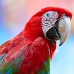 greenwinged-macaw