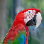 greenwinged-macaw (2)
