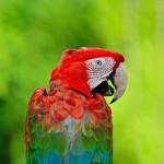greenwinged-macaw (4)