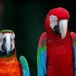 greenwinged-macaw-and-harlequin-macaw