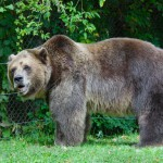 grizzly-bear-at-a-zoo