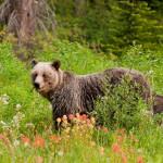 grizzly-bear-feeding