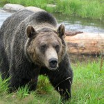 grizzly-bear-habitat-grouse-mountain-vancouver-bc-canada