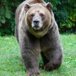 grizzly-on-the-move