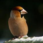 hawfinch-bird
