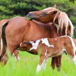 horse-foal-suckling-from-mother