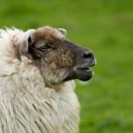 irish-sheep