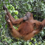 juvenile-orangutan-pongo-pygmaeus
